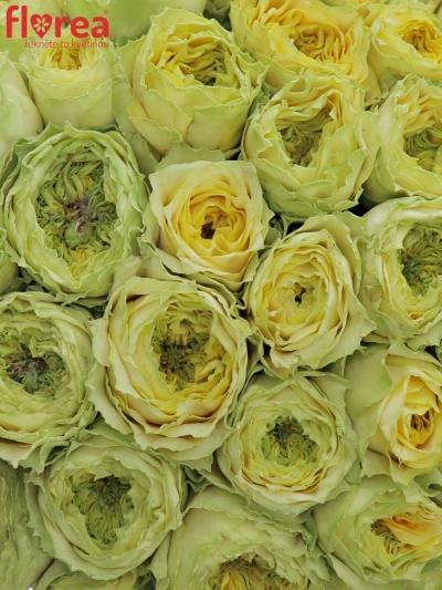 Kytice 55 zelených růží GRASSHOOPER