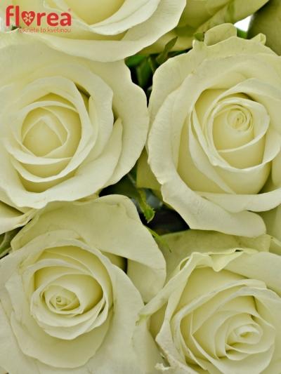 Kytice 9 bílých růží ASPEN 40cm
