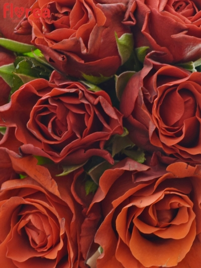 Kytice 9 červených růží EL TORO 30cm