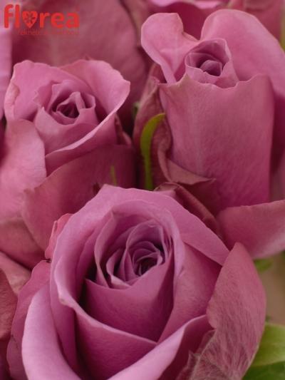 Kytice 9 fialových růží NEW ORLEANS 40cm