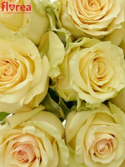 Kytice 9 krémových růží SAHARA ISLAND@