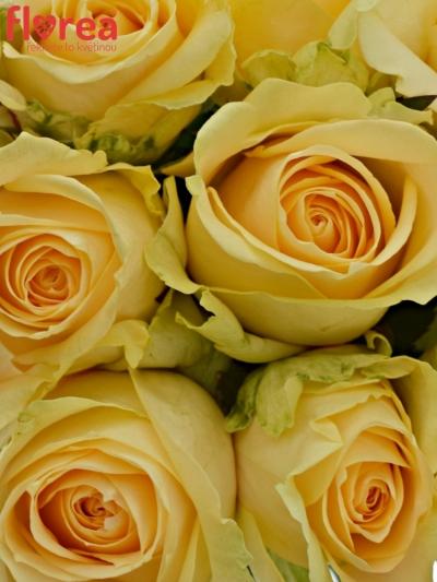 Kytice 9 meruňkových růží MAGIC AVALANCHE 40cm
