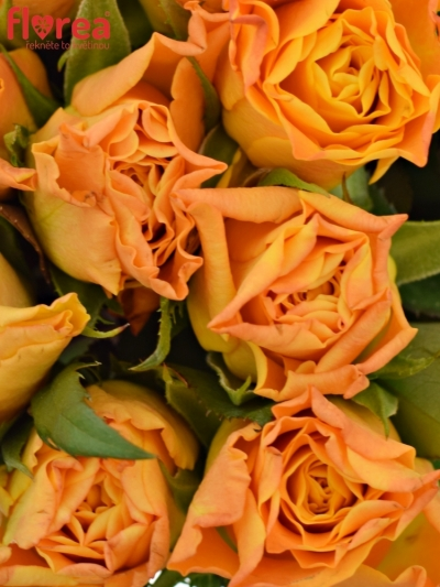 Kytice 9 oranžových růží MARIE-CLAIRE! 60cm
