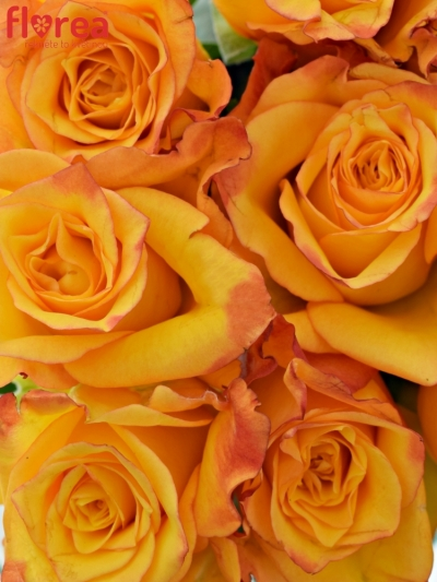 Kytice 9 oranžových růží TIEBREAK 60cm