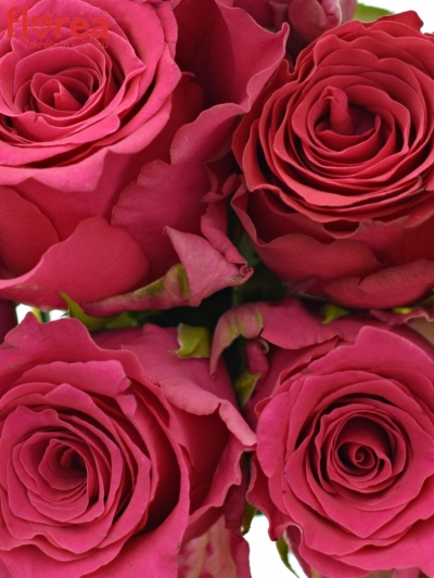 Kytice 9 růžových růží Pink Rhodos 50cm