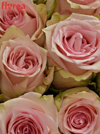 Kytice 9 růžových růží SUDOKU 50 cm