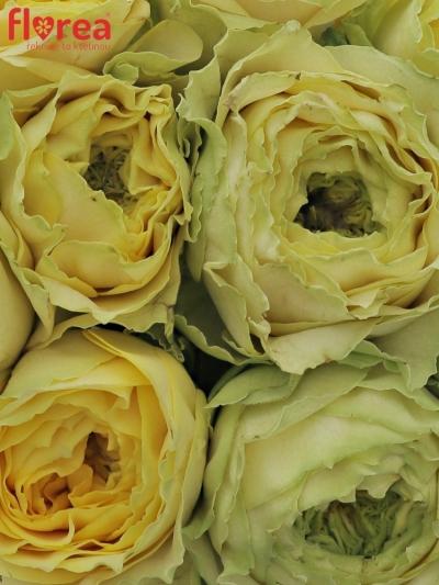 Kytice 9 zelených růží GRASSHOOPER