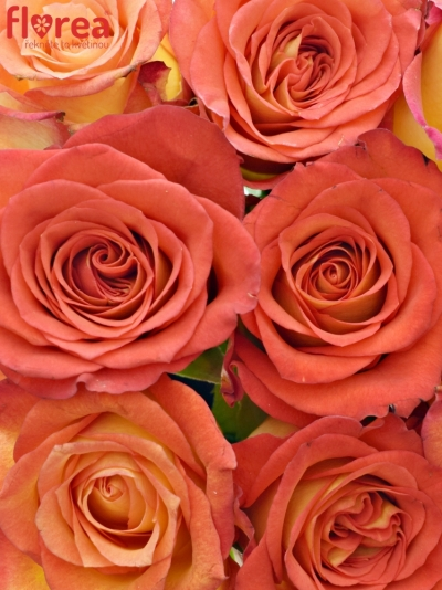 Kytice 9 žíhaných růží UTOPIA