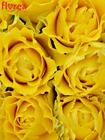 Kytice 9 žlutých růží VIVA