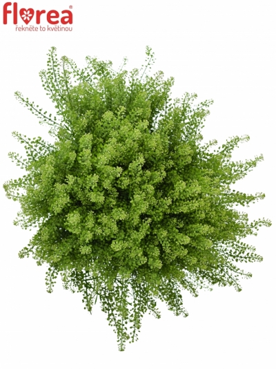 LEPIDIUM GREEN DRAGON 70cm