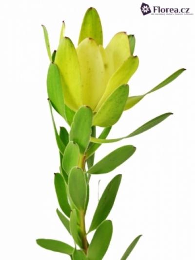 LEUCADENDRON SAFARI GOLDSTRIKE 70cm