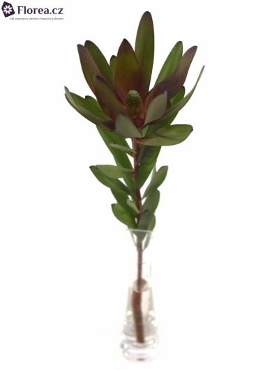 LEUCADENDRON SAFARI SUNSET 60cm