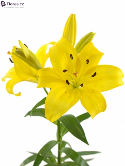 LILIUM LA YELLOW DIAMOND 90cm/5+