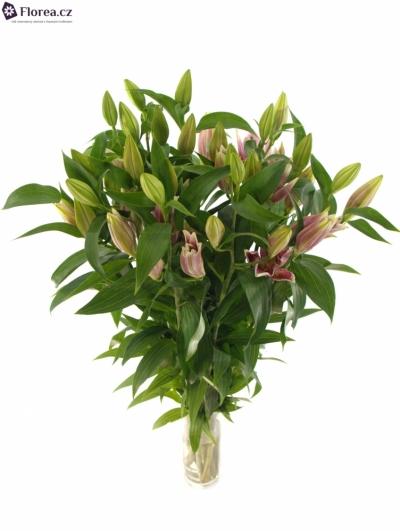 Lilie OR CANBERRA 90cm/3+