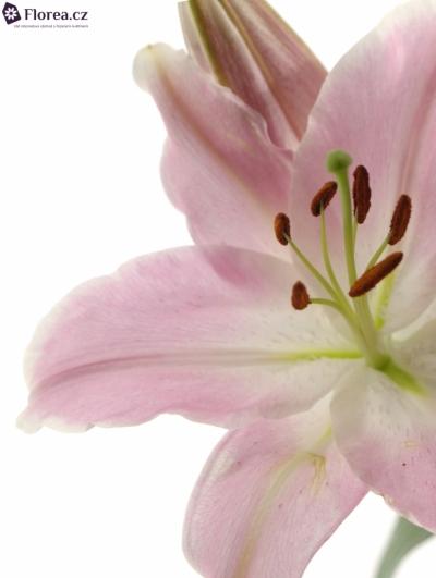 Lilie OR ENERGETIC