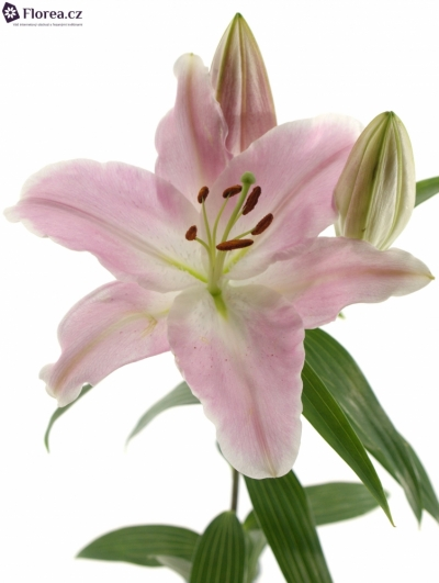 LILIUM OR ENERGETIC 100cm/4+