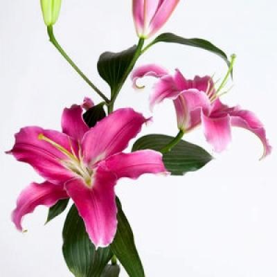 Lilie OR EXPRESSION 65cm/3+
