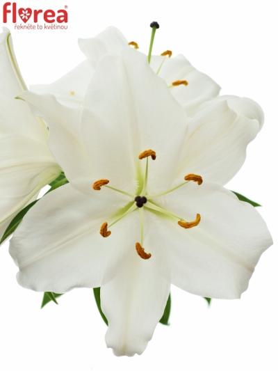 Lilie OR PREMIUM BLOND