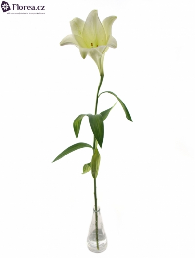 LILIUM LO WHITE TRIUMPH 65cm/1+