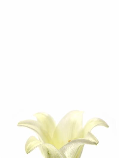 LILIUM LO WHITE TRIUMPH 95cm/2+