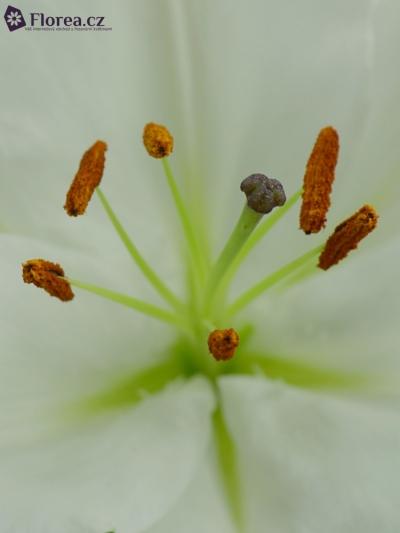 Lilie OR BURLESCA 100cm/3+