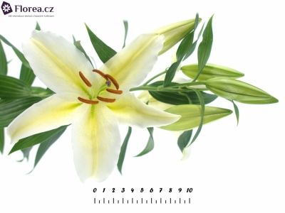 LILIUM OR CHILL OUT 100cm/6+