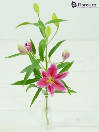Lilie OR COBRA 80cm/3+