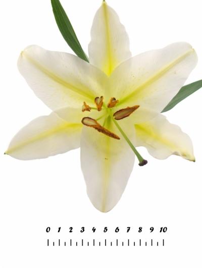 LILIUM OR COLUMBIA 110cm/5+