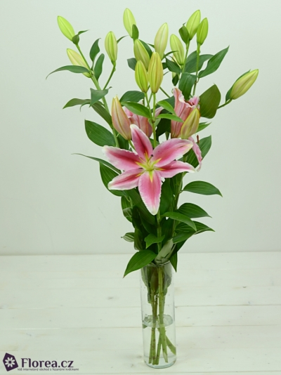 LILIUM OR LAKE CAREY 70cm/5+