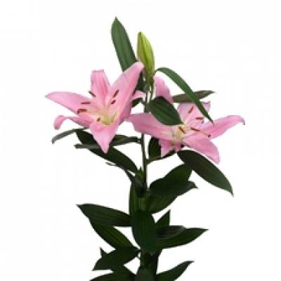Lilie OR MCALEESE 90cm/3+