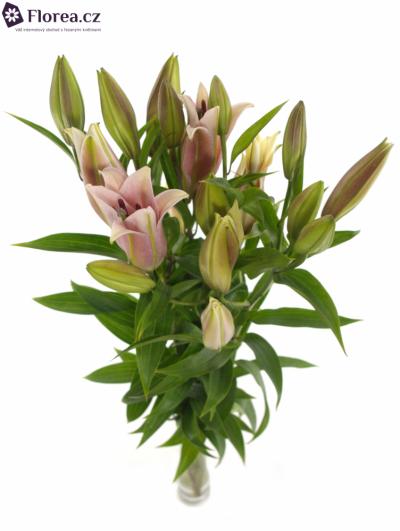Lilie OR MEDUSA 100cm/5+