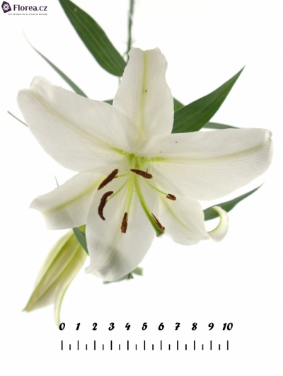 LILIUM OR MOSCOW