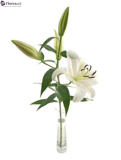 LILIUM OR MOSCOW 75cm/3+