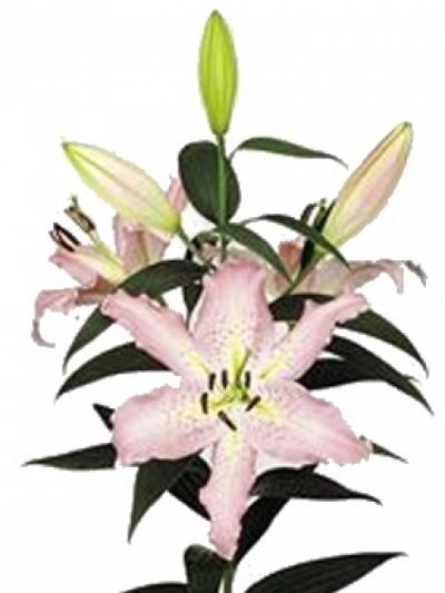 Lilie OR PANDORA 90cm/5+