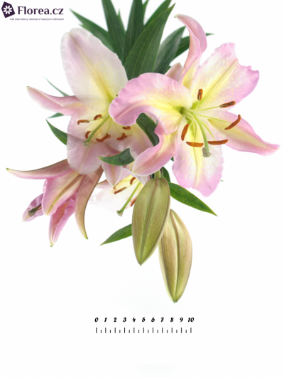 LILIUM OR PINK MYSTERY 90cm/5+