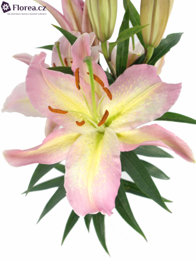 LILIUM OR PINK MYSTERY 70cm/3+