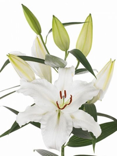 LILIUM OR WHITE PROUD 85cm/4+