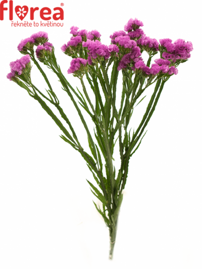 Limonium S RASPBERRY WINGS 50cm/30g