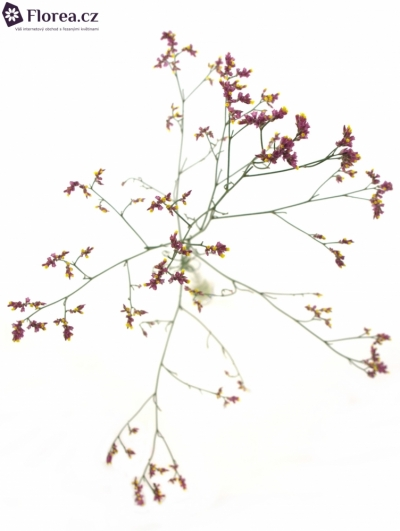 LIMONIUM SINENSIS CHINA RED
