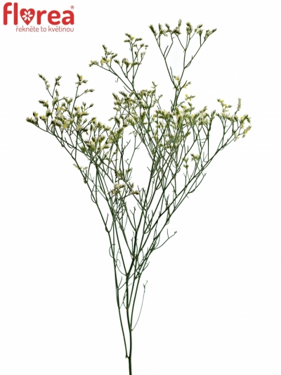 LIMONIUM SINENSIS CHINA WHITE 60cm/20g