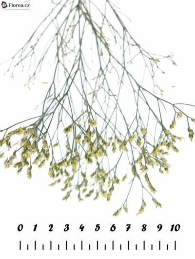LIMONIUM SINENSIS PINA COLADA 50cm/18g