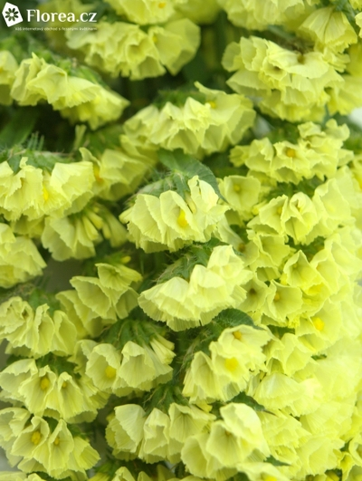 LIMONIUM S YELLOW SUN BIRDS 50cm/30g