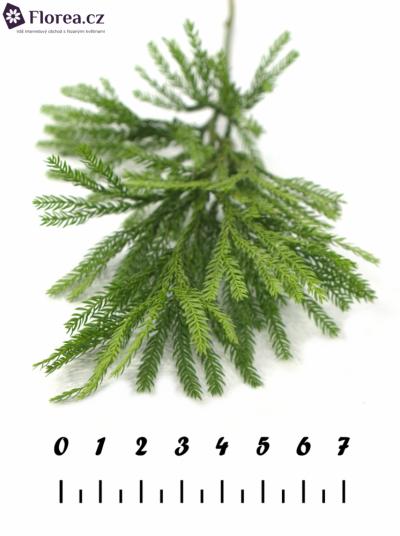 LYCOPODIUM 15cm