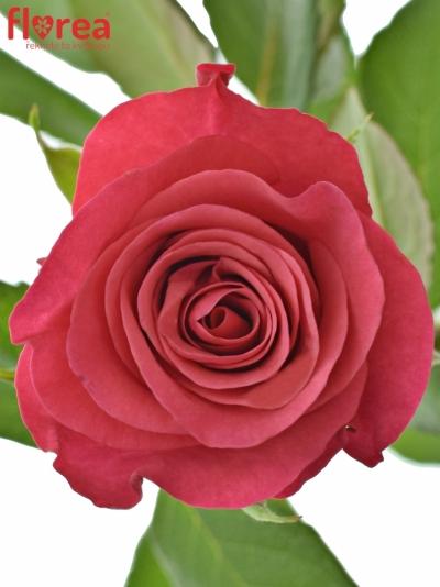 ROSA TACAZZI 50cm (XL)