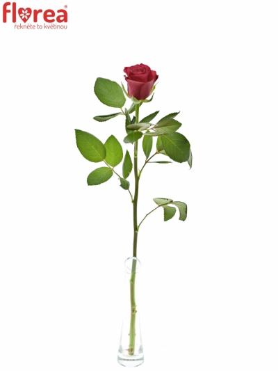 ROSA TACAZZI 60cm (M)