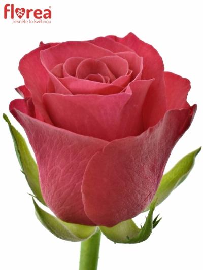 Malinová růže TACAZZI 50cm (M)