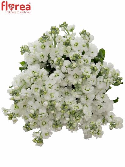 Matiola ANYTIME WHITE 45cm