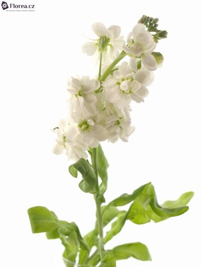 MATTHIOLA AIDA WHITE 45cm