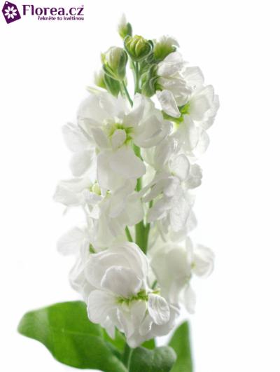 Matiola CENTUM WHITE 50cm