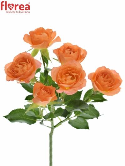 Meruňková růže 4 GOOD PEACH+ 50cm /4+